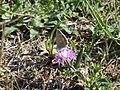 Fleur sauvage et papillon (4).JPG