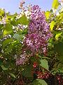 Fleurs de lilas mauve à Grez-Doiceau 003.jpg