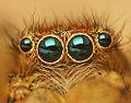 Flickr - Lukjonis - Eyes of Jumping spider - Marpissa radiata.jpg