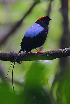 Flickr - Rainbirder - Long-tailed Manakin (Chiroxiphia linearis).jpg