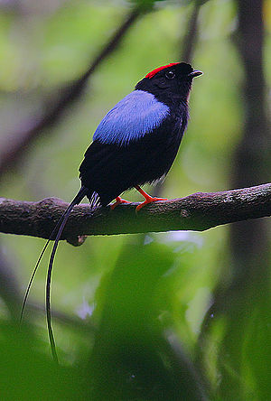 Manakin - Male long-tailed manakin