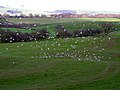 Flock of Gulls Preparing to Land at Kirkton - geograph.org.uk - 354731.jpg