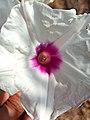 Flor de Ipomoea longifolia (Convolvulaceae).jpg