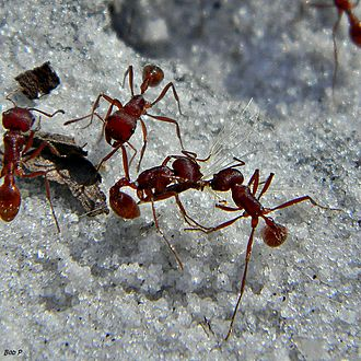 Harvester ant - Pogonomyrmex badius workers transporting a seed to add to their granary