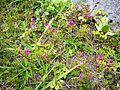 Flors de l'entorn de Kuelap.jpg