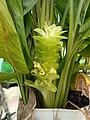 Flower of Turmeric.jpg