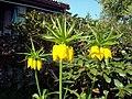 Flowers - (PL) Cesarska korona (17024878998).jpg
