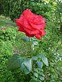 Flowers - red rose fc02.jpg