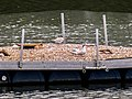 Flussseeschwalbe (23) (34988364036).jpg