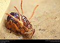 Fly infected by Cordyceps entomopathogenic fungus (36846012473).jpg