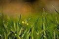 Fly sunbathing on the wheat (Triticum) grass D35 2329 01.jpg