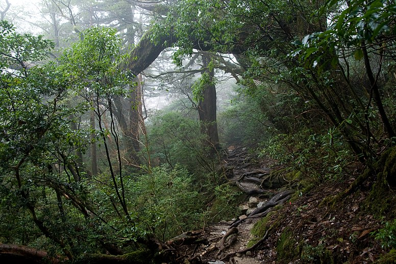 Forest in Yakushima 61
