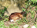 Formosan Sika Deer Rest under the Tree in Taipei Zoo 20131002.jpg