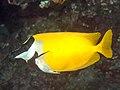 Foxface rabbitfish (Siganus vulpinus) (28822255057).jpg