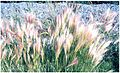 Foxtail Barley (3282421355).jpg