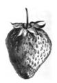 Fraise Vicomtesse Héricart de Thury Vilmorin-Andrieux 1883.png