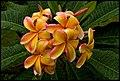 Frangapini Apricot Home-2+ (2240058589).jpg