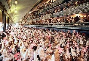 Free-range eggs - Commercial free-range hens indoors.