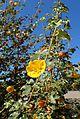 Fremontodendron californicum kz9.jpg