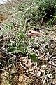Fritillaria gibbosa (Rhinopetalum gibbosum), Կնճիրաթերթիկ սապատավոր, Рябчик горбатый - panoramio.jpg