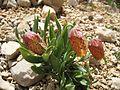 Fritillaria sp, Demirkazık 4.jpg