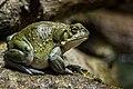 Frog (7973332248).jpg