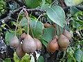 Froitos Pyrus cordata, pereira brava, Xardín botánico de Culleredo 3.jpg
