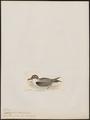 Fulmarus gelidus - 1820-1860 - Print - Iconographia Zoologica - Special Collections University of Amsterdam - UBA01 IZ17900086.tif