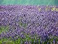 GOC Ickleford 009 Lavender (7795131846).jpg