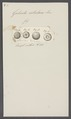 Galerites rotularis - - Print - Iconographia Zoologica - Special Collections University of Amsterdam - UBAINV0274 106 08 0013.tif