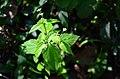 Galinsoga parviflora (8110058625).jpg