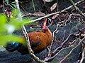 Gallus lafayetii -Sinharaja Forest Reserve, Sri Lanka-8c.jpg