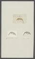 Gammarus mutilus - - Print - Iconographia Zoologica - Special Collections University of Amsterdam - UBAINV0274 098 02 0016.tif