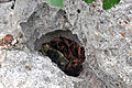 Garden Cave - karst window (San Salvador Island, Bahamas) 1 (16426772192).jpg