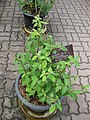 Gardenology.org-IMG 7924 qsbg11mar.jpg