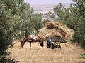 Gathering hay, Menzel Aderrahmane.JPG