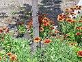 Gazania xhybrida Grandiflora Habito 2010-6-17 DehesaBoyaldePuertollano.jpg