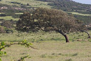 Mistral (wind) - Oak bent to the south by the mistral in Sardinia