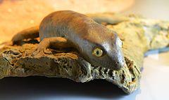 240px gecko de delcourt hoplodactylus delcourti glam mhnl 2016 3741