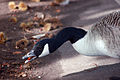 Geese Eating Chestnuts At Kew Gardens (3998170186).jpg