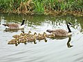 Geese and goslings swim in V-formation - geograph.org.uk - 429191.jpg