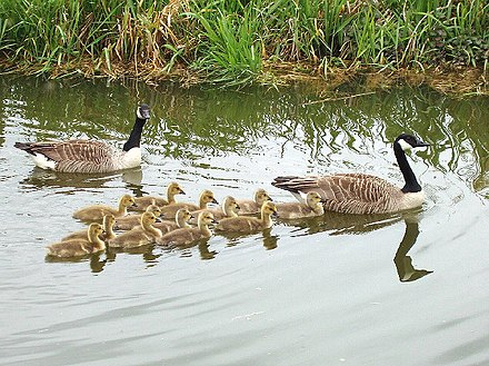 Geese and goslings in an English canal, showing formation Geese and goslings swim in V-formation - geograph.org.uk - 429191.jpg