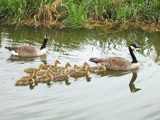 Geese and goslings swim in V-formation - geograph.org.uk - 429191