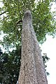 Gentianales - Haldina cordifolia - 2.jpg
