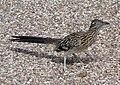 Geococcyx californianus -Tucson -Arizona -USA-8b.jpg