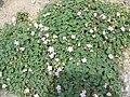Geranium cinereum001.jpg