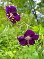 Geranium phaeum flowers1.JPG