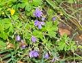 Geranium pyrenaicum in Aveyron (2).jpg