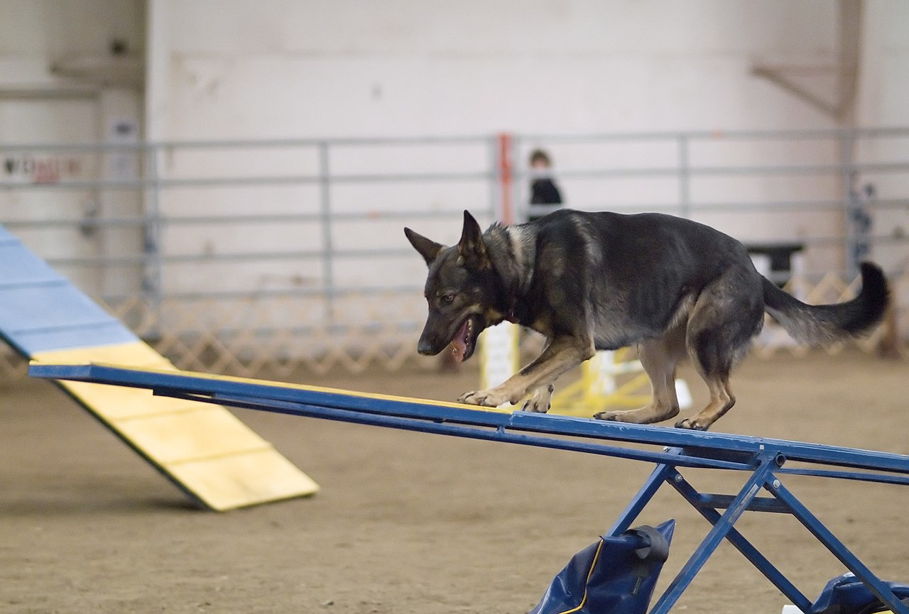 Agility Dog Training Westboro Ma