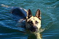 German Shepherd Dog swimming.jpg
